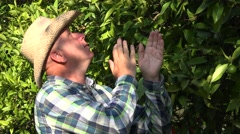 Farmer check oranges production in a Mediterranean orange trees plantation. Stock Footage