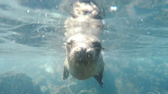 Underwater close up of a curious young sea lion in the galapagos Stock Footage