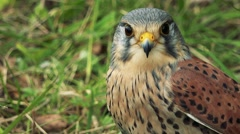 Falcon sit in grass and watchfully observes landscape  Stock Footage