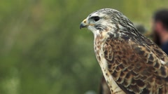 Falcon sit and watchfully observes landscape - view from profile Stock Footage