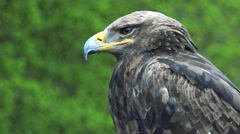 Black eagle sits and watchfully observes landscape Stock Footage