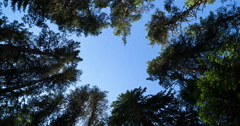 Pine trees night sky stars from beneath. 4k zoom in. Stock Footage