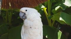 White Cockatoo Closeup Collage (3 Videos) Stock Footage