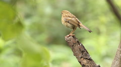 Juvenile European Robin on a log. Stock Footage