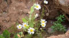 Camomile in sand Stock Footage