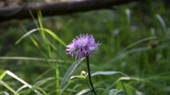 Single purple flower Stock Footage