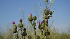 Cirsium arvense - Weed Stock Footage