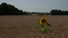 Alone sunflower in a field of wheat Stock Footage