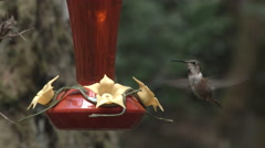 A Charm Of Hummingbirds At Feeder Stock Footage