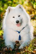 Happy White Samoyed Dog Outdoor in Autumn Forest - stock photo