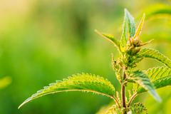 Nettle Twig, Stinging Nettle, Urtica Dioica In Summer Field. Close Up Stock Photos