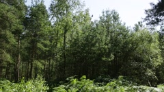 Young conifer trees in the forest - stock footage