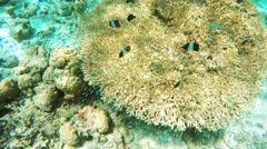 Black Pyramid Butterflyfish Stock Footage