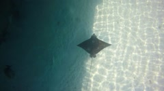 Eagle ray swimming seen right from the top. slow motion Stock Footage