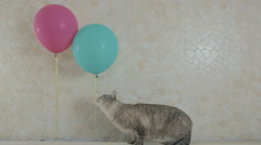 Funny naughty cat gnaws rope from balloon Stock Footage