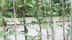 Yardlong bean (Vigna unguiculata ssp. sesquipedalis). Stock Footage