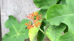 Buddha belly plant (Jatropha podragrica) Stock Footage