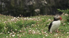 Puffins walk through flowers Stock Footage