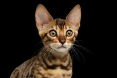 Closeup Portrait of Young Bengal Kitty on Isolated Black Background Stock Photos
