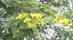 Golden Shower (Cassia fistula L.) Stock Footage