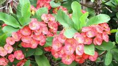 Pink Euphorbia Milii flower Stock Footage