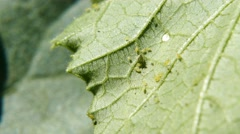 Pests on the Kale Stock Footage