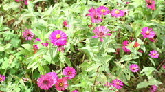 Purple Zinnia flowers in the garden, Stock Footage