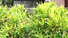 Croton tree or Codiaeum variegatium (L.) Blume Stock Footage