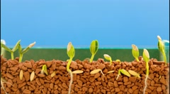 The growth of plants beans, time lapse shot in 10 days Stock Footage