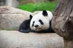 Giant panda bear in the zoo - stock photo