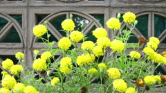 Marigold, Tagetes erecta L. Stock Footage