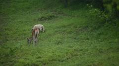 Wildlife scene with deer graze next to sheep on meadow Stock Footage