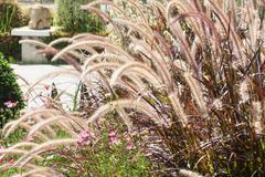 Foxtail fountain grass - stock photo