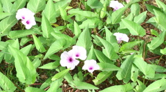 morning glory (Ipomoea aquatica) - stock footage