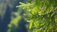 Pine branch moving in wind at green mountain landscape background Stock Footage
