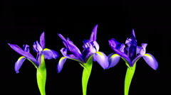 Time Lapse - Three Purple Iris Flowers are Blooming Stock Footage