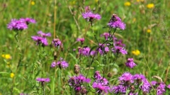 Scenic purple meadow flowers, bees and brown meadow butterfly Stock Footage