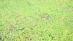 Lily pads on the surface of a pond. Stock Footage