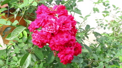 Red shrub roses in the garden Stock Footage