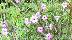 Purple Cracker plant flowers in the garden Stock Footage