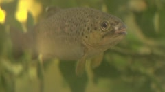 Brook trout under water Stock Footage