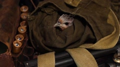 A wounded bird in a bag hunter Stock Footage