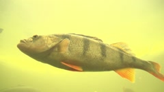 Perch under water Stock Footage