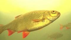 Rudd - Scardinius erythrophthalmus - in a lake Stock Footage