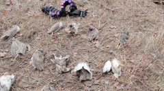 Killed by hunting birds Stock Footage