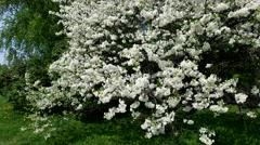 Flowering pear tree Stock Footage