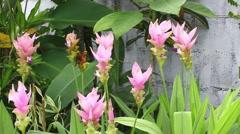 Pink Curcuma sessilis flower (Zingiberaceae) Stock Footage