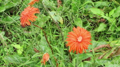 Red Gerberas on a sunny day in garden Stock Footage