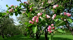 Flowering branch in an apple orchard Stock Footage