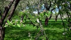 Blooming apple trees Stock Footage